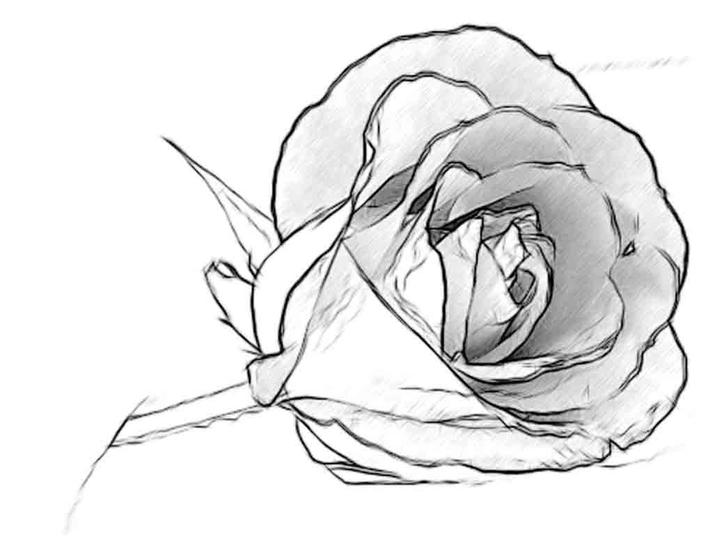 1024x768 Rose Simple Pencil Drawing