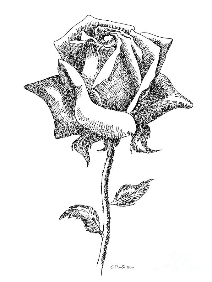 675x900 Drawn rose black and white