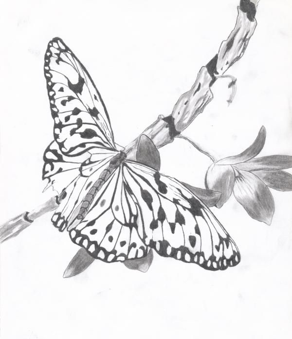 Pencil Drawing Of Butterflies
