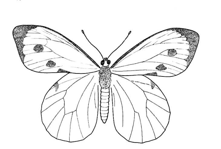 730x493 Drawn butterfly insect