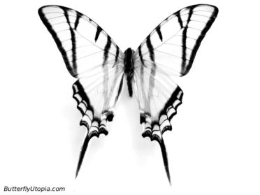 372x279 Drawn butterfly realistic