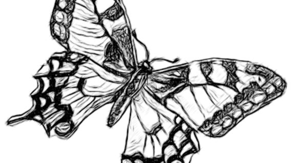 570x320 A Drawing Of A Butterfly Line Drawing Pencil And Charcoal Art