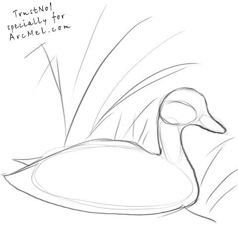 480x481 Duck Drawing Mallard Duck Drawings Mallard Duck Drawing