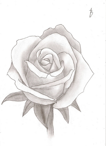 364x500 photos red roses pencil sketch