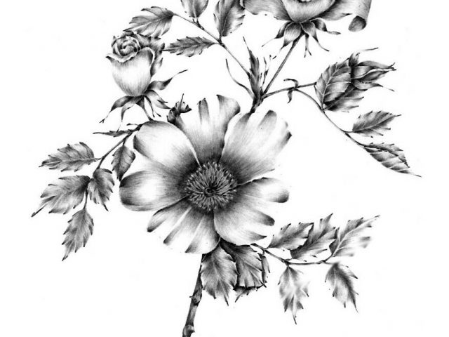 640x480 Flower Pencil Drawing Artists Floral Drawings Free Download Clip