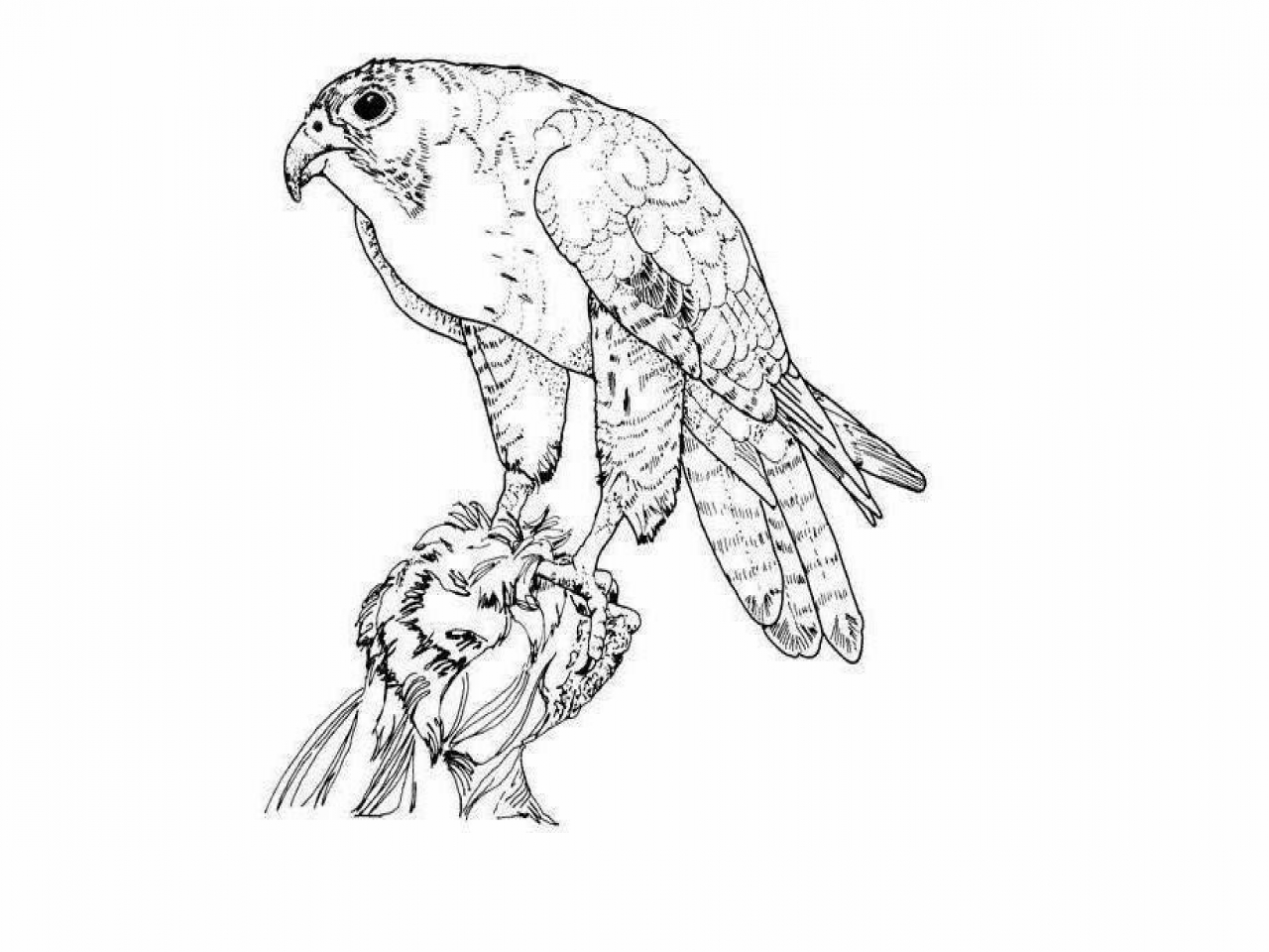 1280x960 Peregrine Falcon Coloring Sheets Colours Drawing Wallpaper Eagle