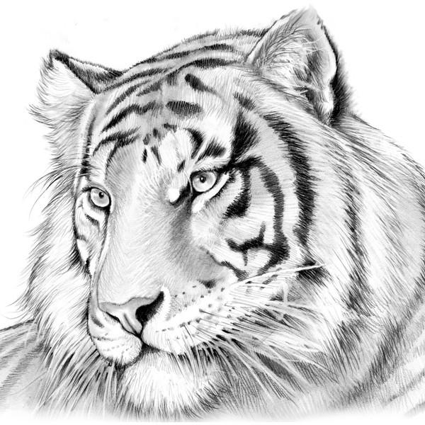 600x600 tiger pencil sketches drawn tiger sketching pencil and in color