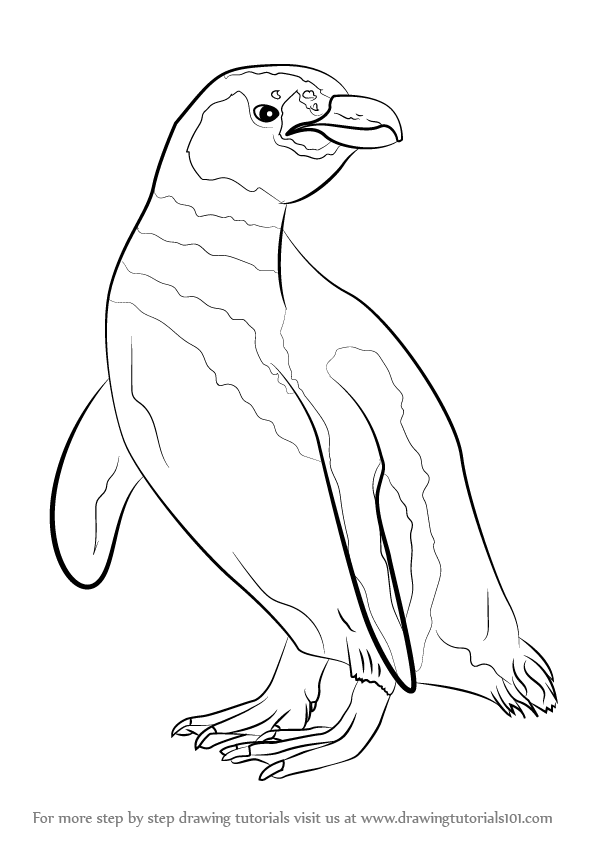596x842 Learn How To Draw A Magellanic Penguin (Antarctic Animals) Step By