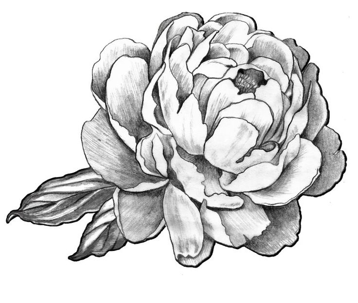 Peonies Drawing