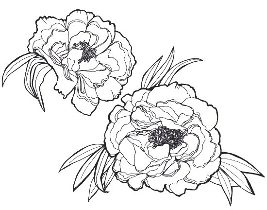 550x432 Peony Flower Drawing Easy New Peonies Sleevie Wonder