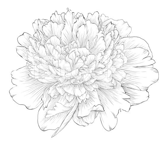 556x490 35 Best Peony Images On Draw, Drawing Flowers