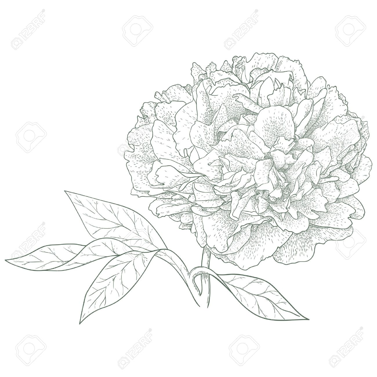1300x1300 Vector Peony Flower In Vintage Engraving Style Royalty Free
