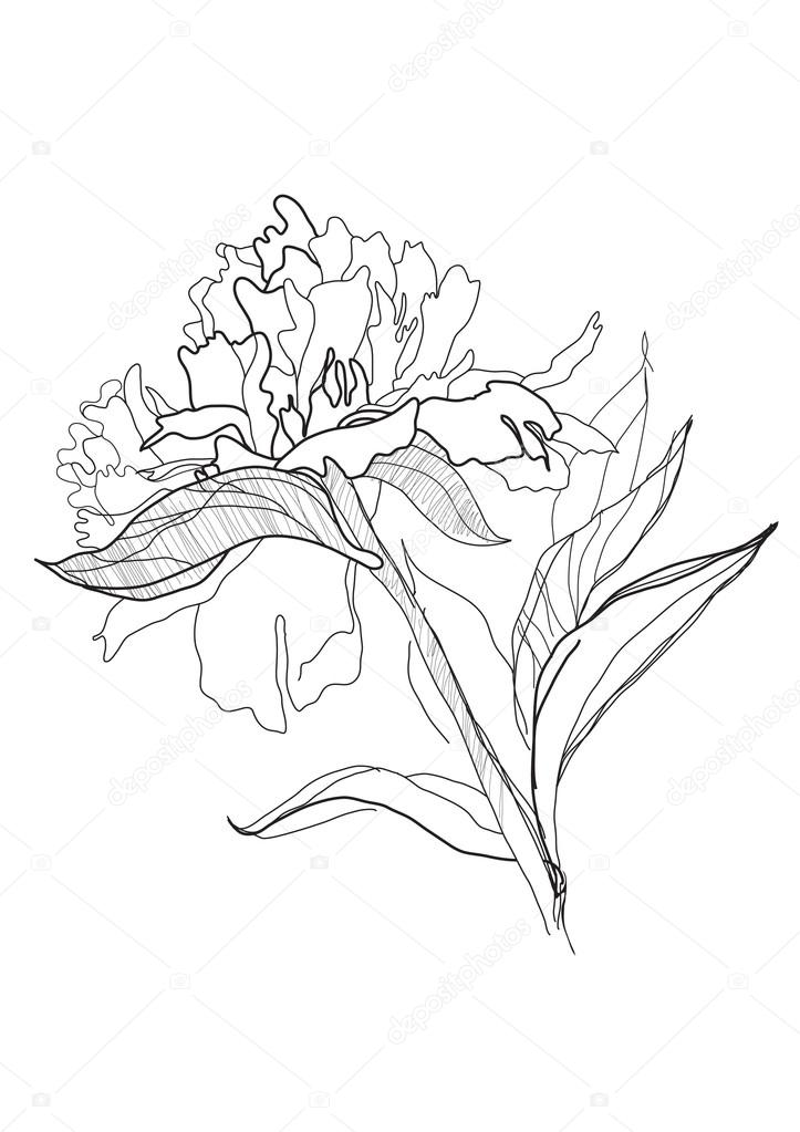 723x1023 Drawing Peony Stock Vector Vergasova