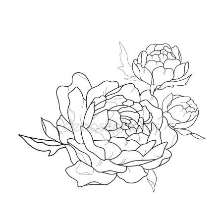 450x450 Sketch Of Beautiful Peony Made In Vector Graphics. Stock Vector