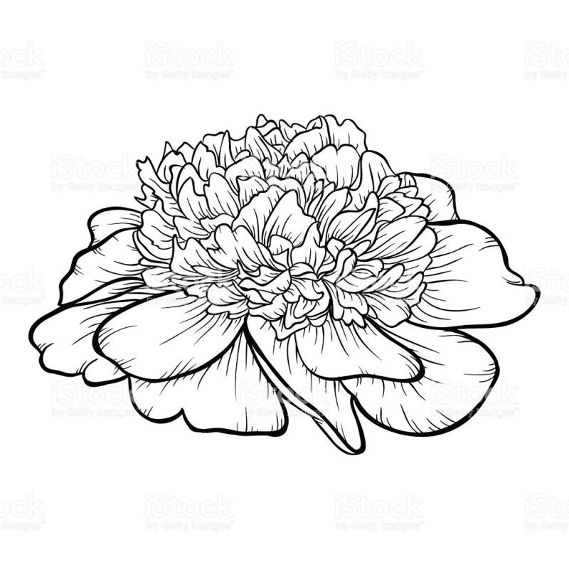 800x800 Peony Clipart Black And White