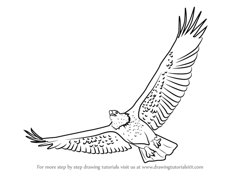 800x567 Learn How To Draw A Bald Eagle Flying (Bird Of Prey) Step By Step