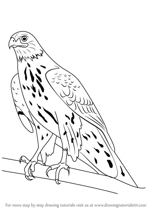 598x844 Learn How To Draw A Northern Goshawk (Bird Of Prey) Step By Step