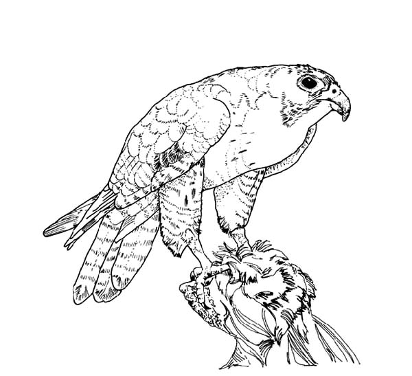 600x547 Bird Coloring Pages Peregrine Falcon