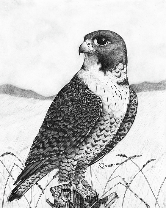 558x700 Peregrine Falcon Drawing By Kaitlin Bauer