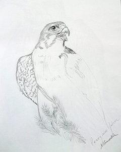 240x300 Peregrine Falcon Drawings Fine Art America