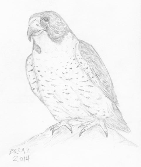480x565 Peregrine Falcon Fast Flying Raptor Art By Breah