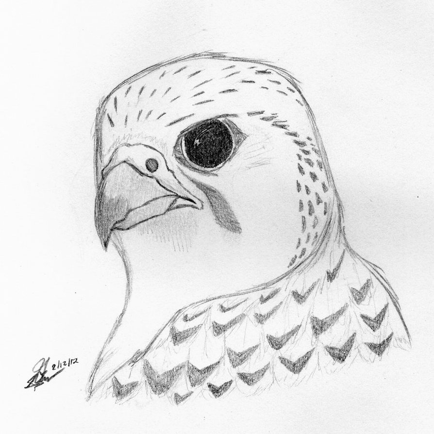 894x894 Drawing Of A Falcon How To Draw A Peregrine Falcon