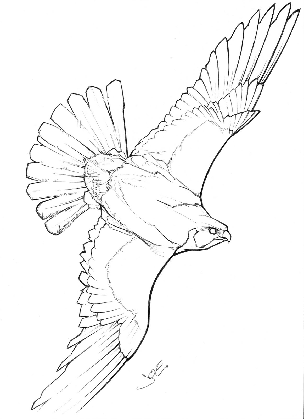 1162x1600 Drawing Of A Falcon Peregrine Falcon Clipart Flight Drawing