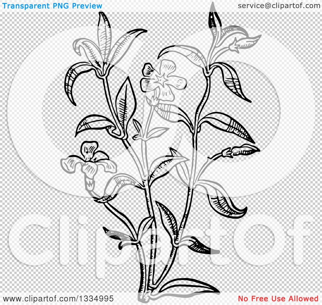 1080x1024 Clipart Of A Black And White Woodcut Herbal Medicinal Periwinkle