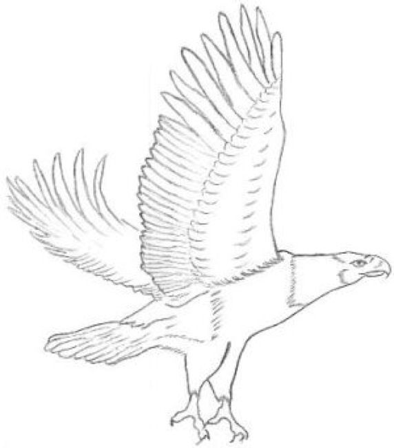 572x651 36 Best Eagle Color Sketches Images On Sketches