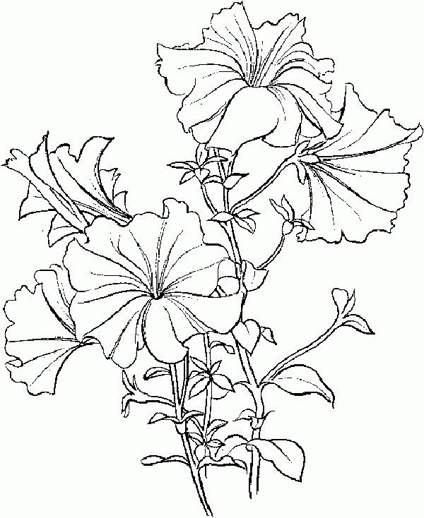 Petunia Flower Drawing
