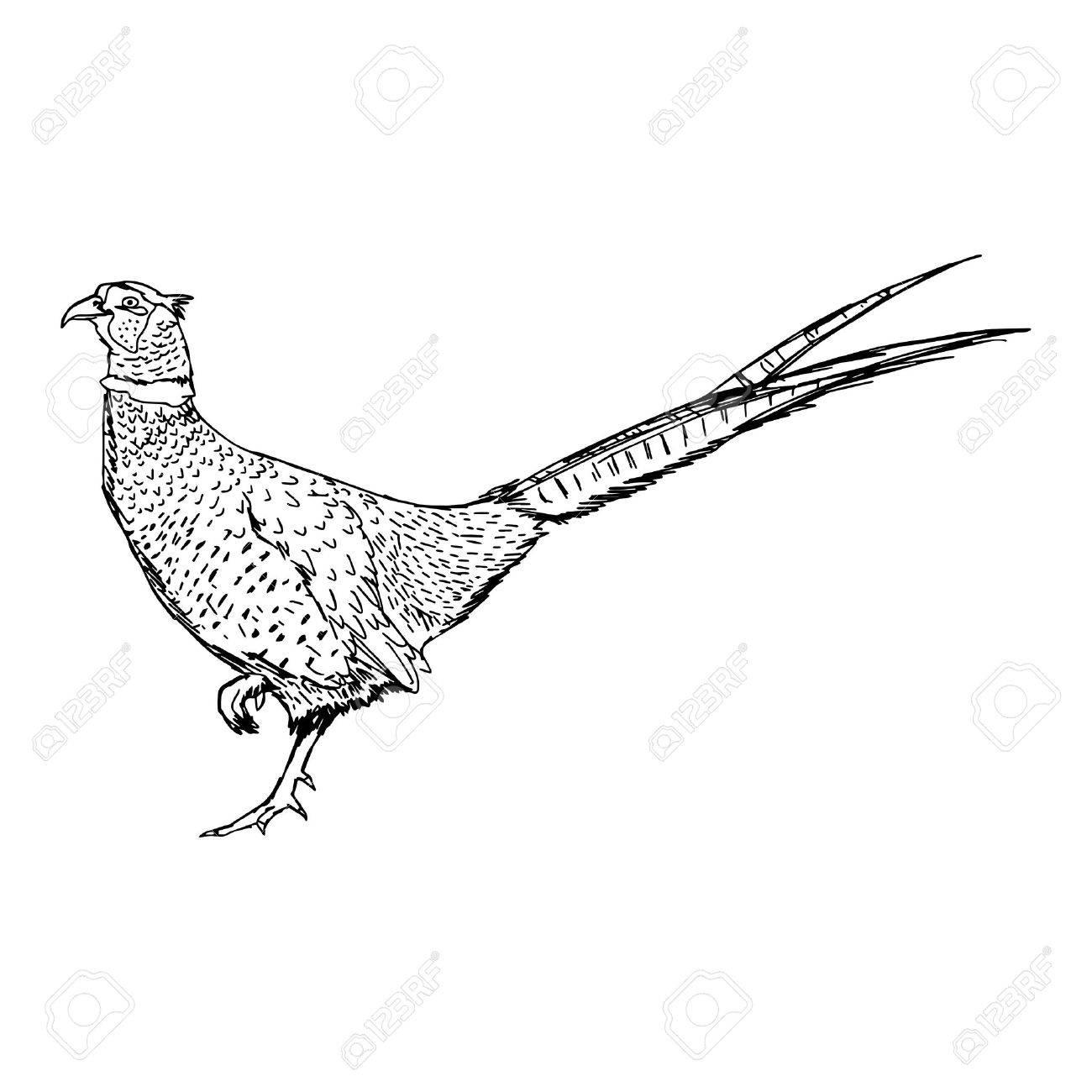 1300x1300 Illustration Doodle Of Sketch Common Pheasant (Phasianus