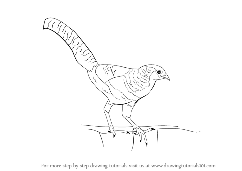 800x566 Learn How To Draw A Lady Amherst's Pheasant (Birds) Step By Step