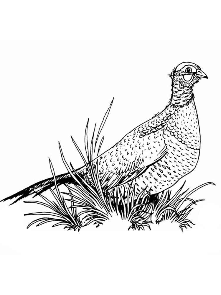 750x1000 Pheasant Coloring Pages. Download And Print Pheasant Coloring Pages