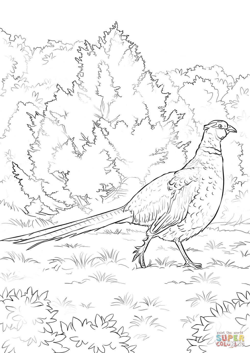 1020x1440 Ring Necked Pheasant Coloring Page Free Printable Coloring Pages