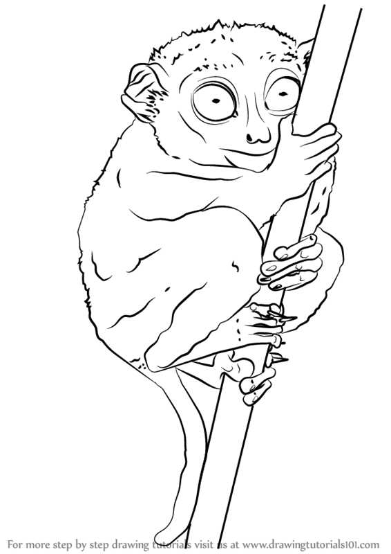 566x800 Learn How To Draw A Philippine Tarsier (Primates) Step By Step