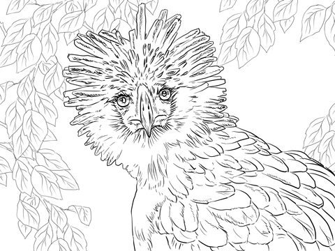 480x360 Philippine Eagle Portrait Coloring Page Free Printable Coloring