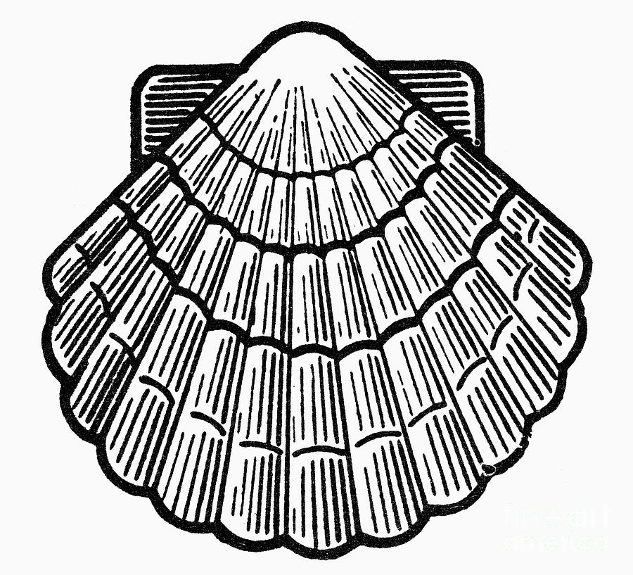 900x817 Symbol Scallop Shell Photograph By Granger