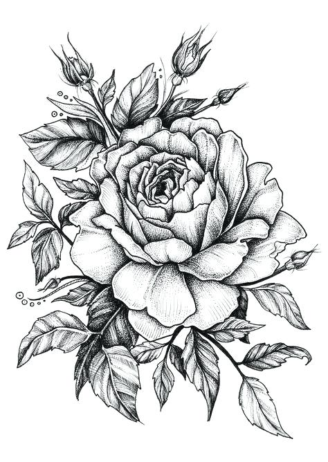 474x668 Drawn Rose Hand Drawn Rose Vector Illustration Drawn Rose Petals
