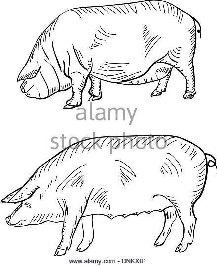 440x540 Pig Meat Cut Drawing Stock Photos Amp Pig Meat Cut Drawing Stock