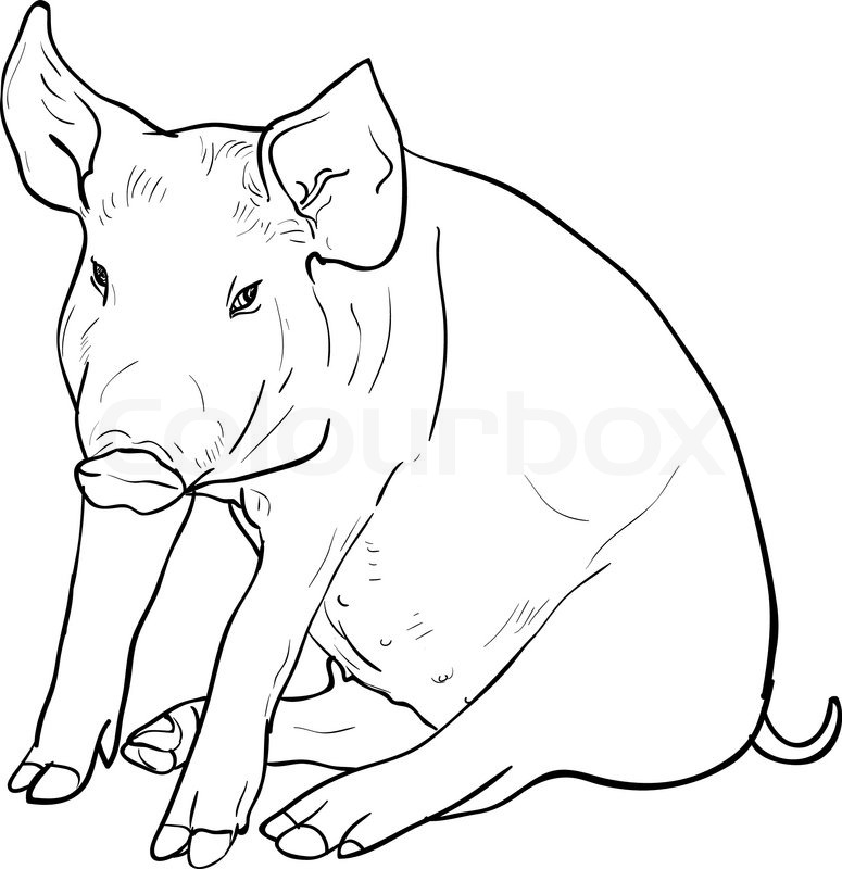775x800 Drawing Of Pig On White Background,vector Illustration Stock