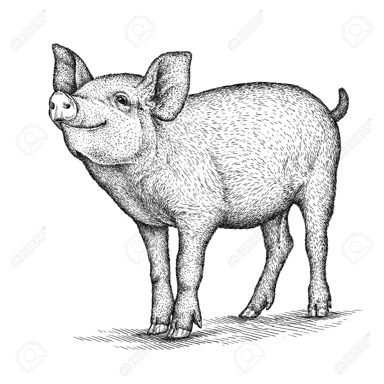 1300x1300 Engrave Isolated Pig Illustration Sketch. Linear Art Stock Photo