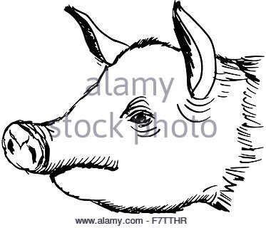 373x320 Pig Head. Hand Drawn Sketch In A Graphic Style. Vintage Vector