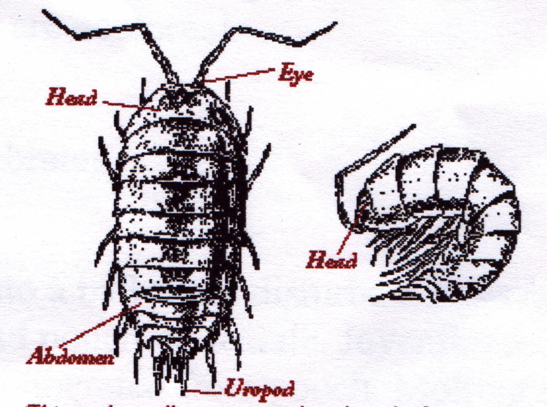 Pill Bug Drawing at GetDrawings.com | Free for personal use Pill Bug ...