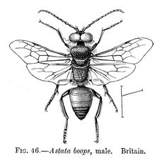 236x233 Drawings Of Insects Joe Macgown's Insect Drawings And Paintings