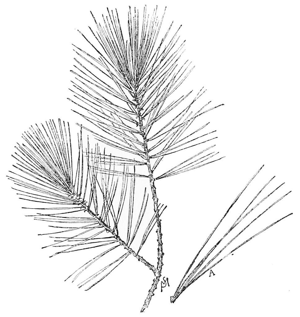967x1023 Filepsm V49 D817 White Pine Leaf.jpg