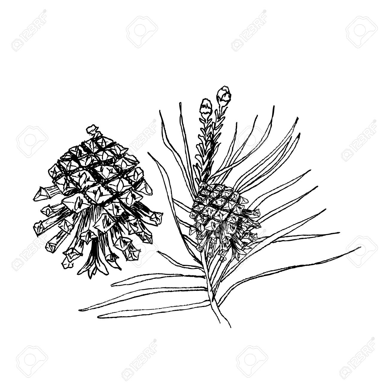 1300x1300 Pinus Sylvestris Tree. Branch, Pine And Cones In Black Isolated