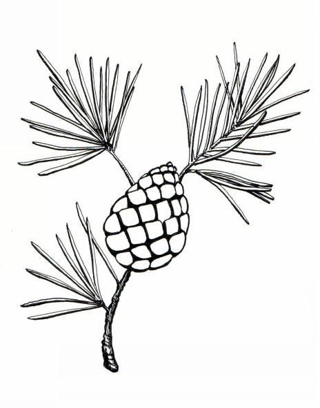 464x592 Botanical Illustrations By Meghan Witzke