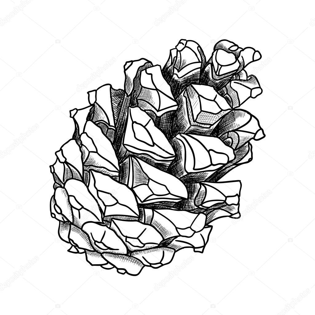 1024x1024 Hand Drawing Pine Cone Stock Vector Goldenshrimp