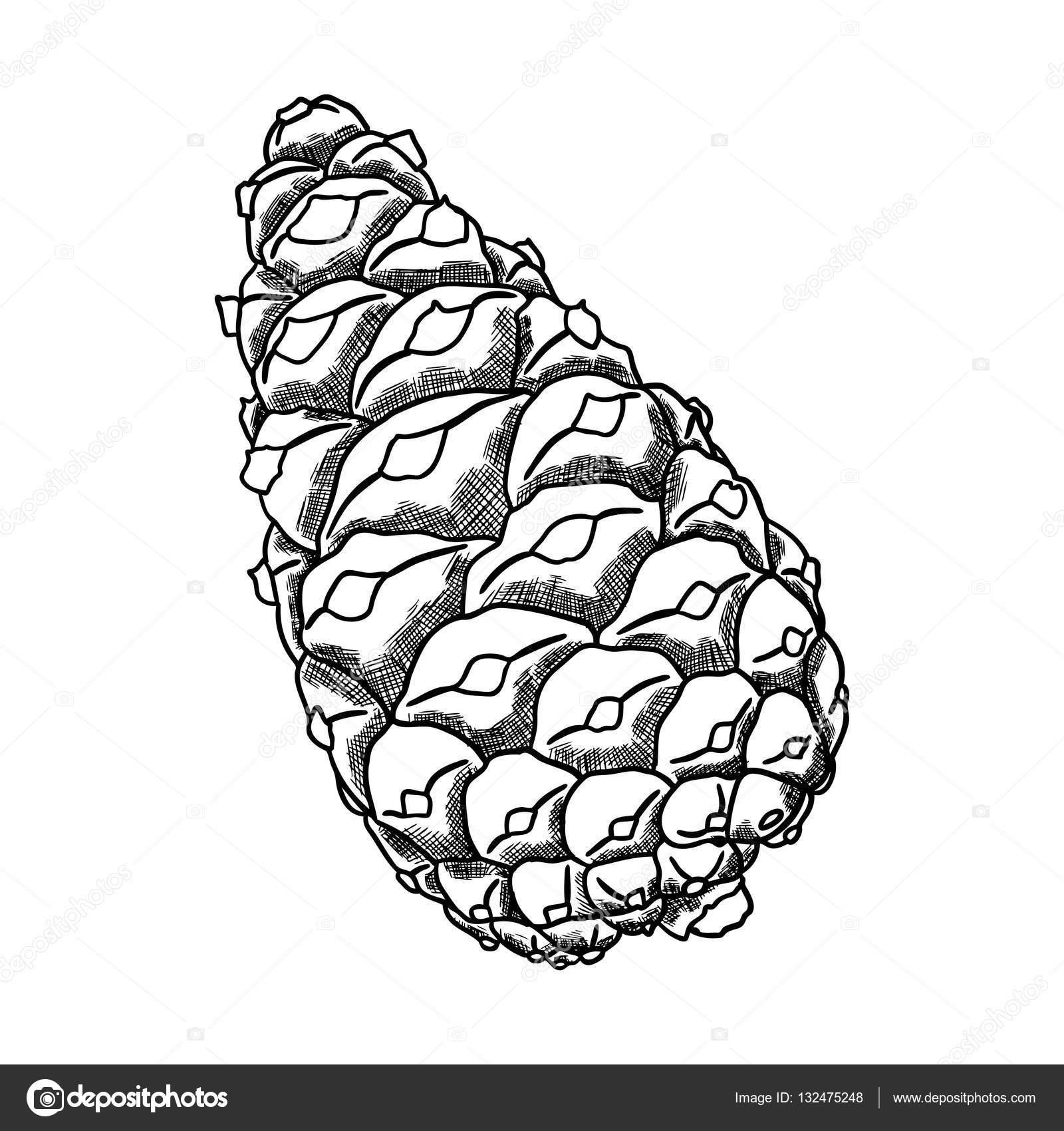 1600x1700 Hand Drawing Pine Cone Stock Photo Goldenshrimp