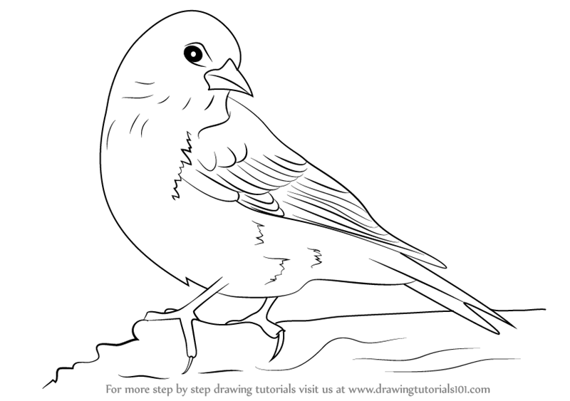 800x563 Learn How To Draw A Pine Siskin (Birds) Step By Step Drawing